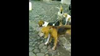 Caceria con Perros. Mis perros de caza Espinal Veracruz