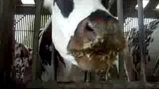 Vache Normande qui mange du maïs
