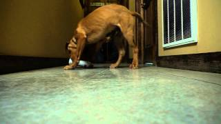 D.T. the Dog Training Video 3 | Puppy Retriever Training