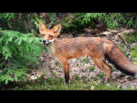Почему эта лиса такая худая и облезлая? Лиса линяет!