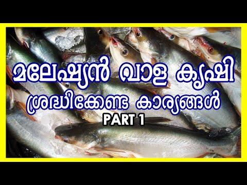 #മലേഷ്യൻ_വാള   #ആസ്സാം_വാള   മലേഷ്യൻ വാള കൃഷി   Assam Vaala Fish Farming   #വാള_കൃഷി
