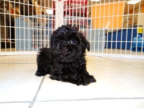 Yorkie Poo Puppies For Sale In Charlotte North Carolina Nc