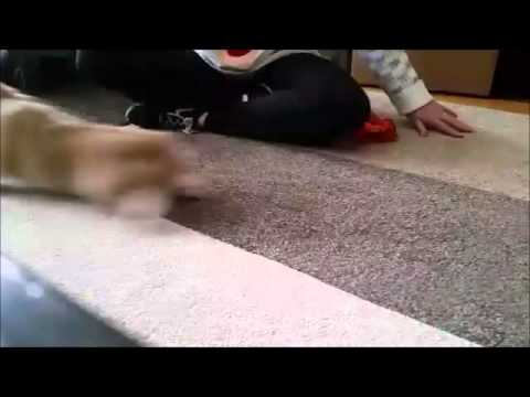 Dog Stops Cat Fights