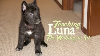 Teaching Luna the Wolfdog Puppy to Sit