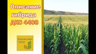 Кукуруза ДКС 4408  🌽 - описание гибрида 🌽, семена в Украине