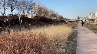 안양천...가을같은 겨울-억새풀 풍경감상하기