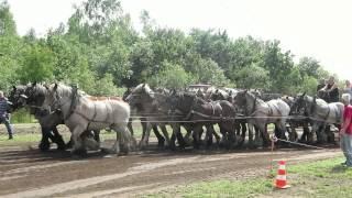Belgian Draft Horses- horse pulling vs tractor pulling