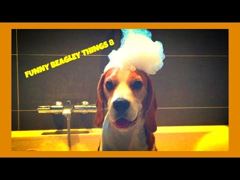 Funny BEAGLE Compilation! Why You Should Get A Beagle Dog. Episode #8