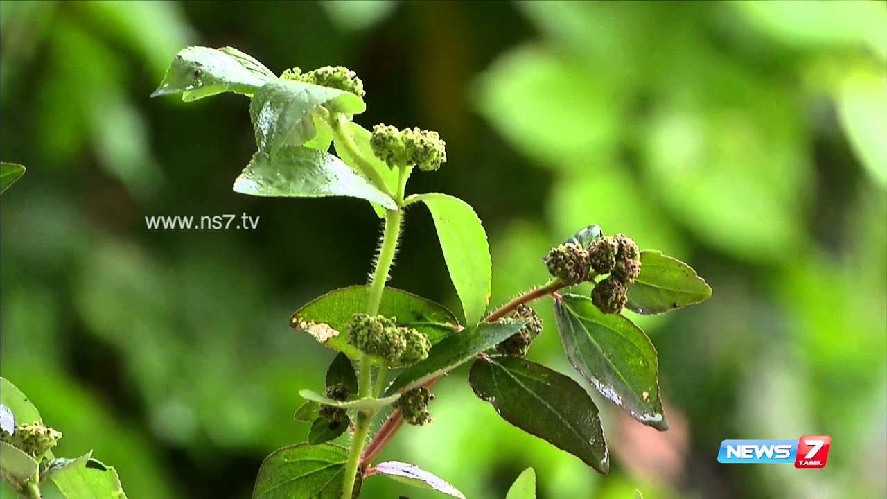 Kuppaimeni Acalypha Indica Grow This Herbal Plant On Your