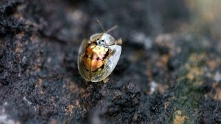 TORTOISE BEETLE crawling up a stick - Palawan, Philippines