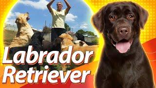 LABRADOR RETRIEVER: o cão multitarefa | Guia de Raças Baw Waw