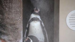暑さで動かないペンギンさんwwww ガッチガチに固まる衝撃萌え動画で...