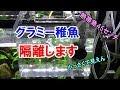 【熱帯魚45㌢】グラミー稚魚を隔離しよう! の動画、YouTube動画。