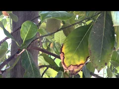 أشجار مثمرة غريبة ونادرة (جاك فروت) - Gulf Plants