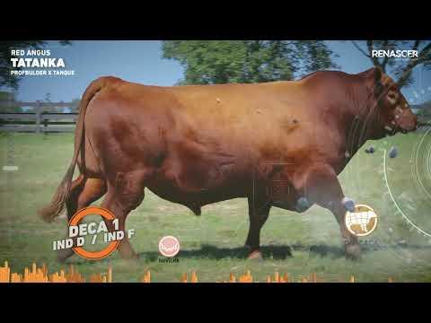 Touro Tatanka - Red Angus - Sêmen Bovino - RENASCER BIOTECNOLOGIA VIDEO