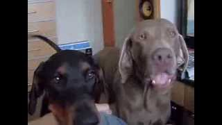 Dobermann And Weimaraner Need Out!