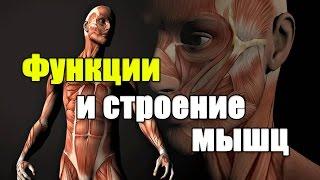 видео Строение и функции мышц