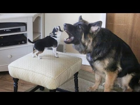 Funniest & Cutest Chihuahua Puppies Videos - Compilation 2018