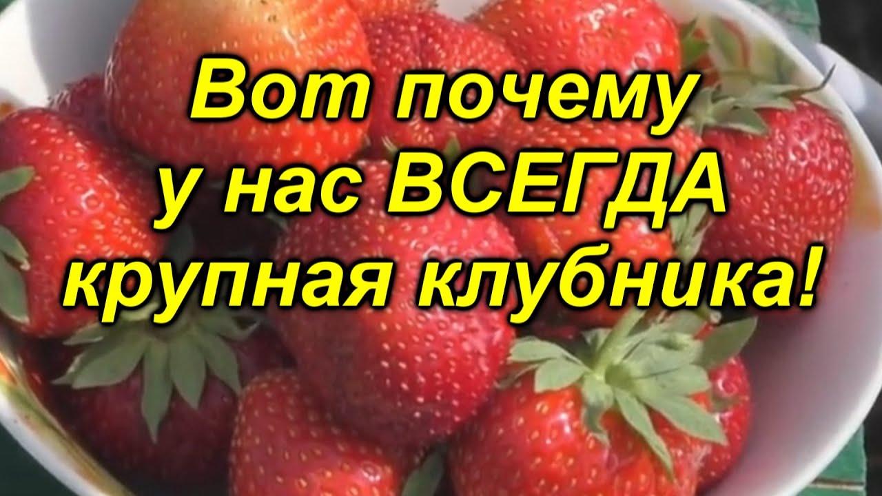 """Всего одна подкормка и ягода на клубнике будет КРУПНОЙ! """"Копеечная"""" клубники."""