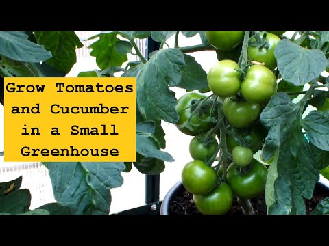 Grow Tomatoes and Cucumbers in a Small Greenhouse