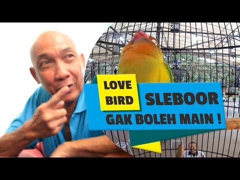 BRANDY WATCH : Lovebird Sleboor GAK BOLEH MAIN! Ini Jawaban Freddy RAJA GILES