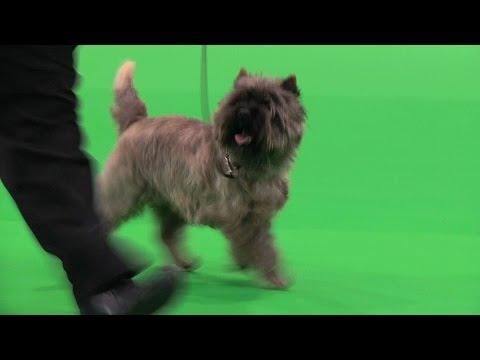 City of Birmingham Dog Show 2015 - Terrier group