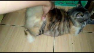 Gambar cover Ciri-ciri kucing birahi