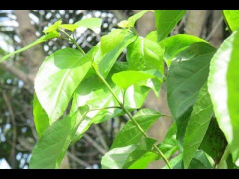 Vườn rau New York : Ra vườn hái lá cách làm món Ếch xào lá cách – Món ăn tuổi thơ 😋😍