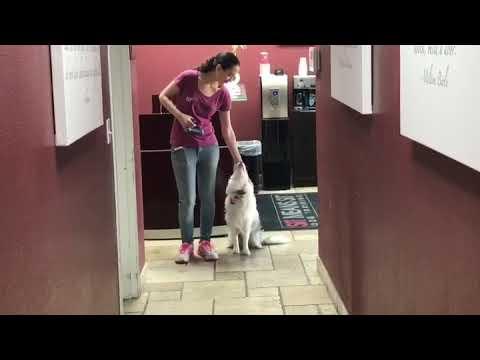 Dog training - 'heel' practice with retrieve.