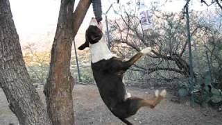 Bull Terrier Hanging From Tire