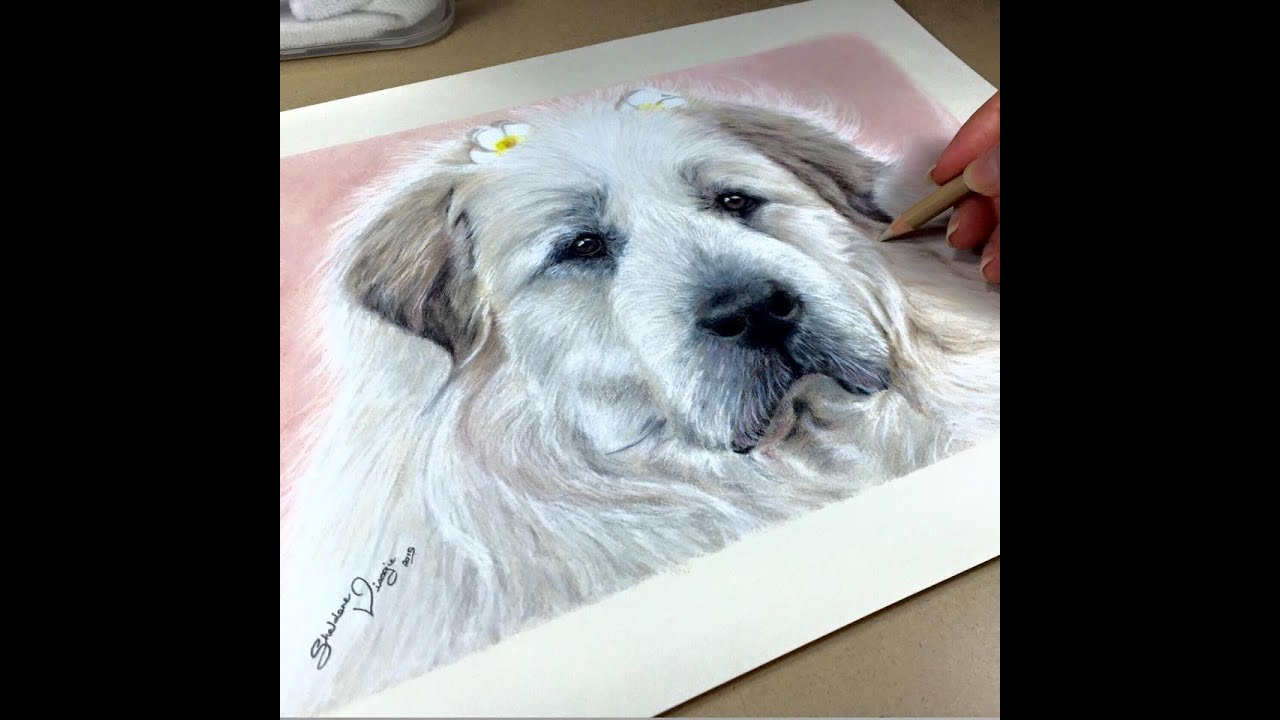 Drawing Aurora The Great Pyrenees Mountain Dog Youtube