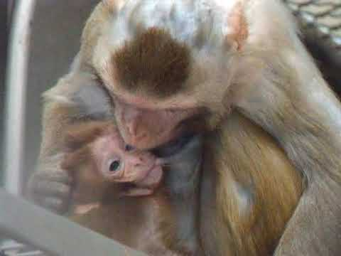 Facial Communication Between Mother And Infant Macaque Monkeys, Part 2