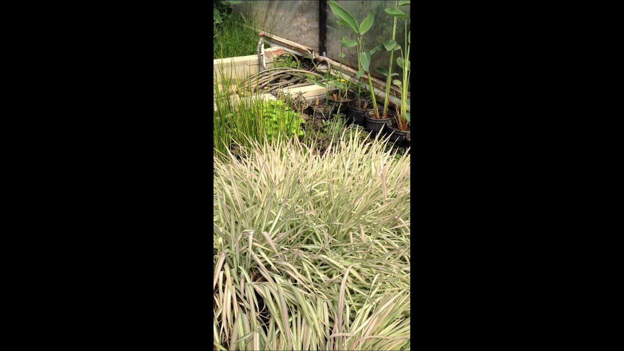 Pond Plants For Sale In Los Angeles Bog Plants Sunland