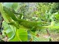 One of my garden lizard reptiles  Puerto Rico Island