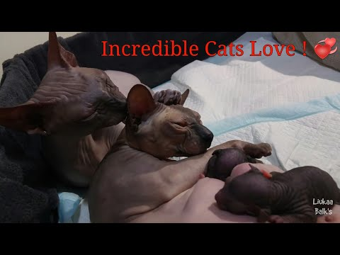 Incredible sphynx cats love / happy whit the three newborn kittens / DonSphynx