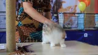 WCF International cats show Международная выставка кошек. Девочка хайленд страйт