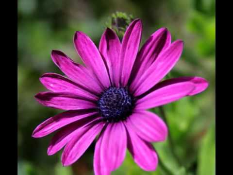 beautiful aster flower all over the world, Natural flower