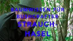 Baumwissen für Bushcrafter - Strauchhasel (Corylus avellana)