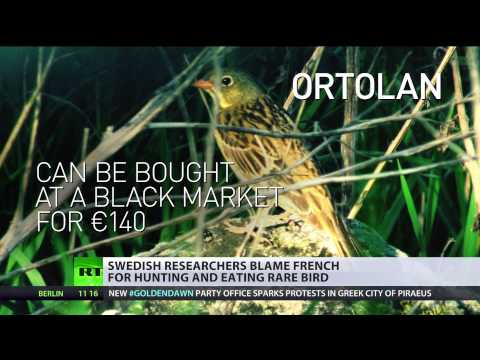 In hot water: French roasted for hunting & eating rare Ortolan bird