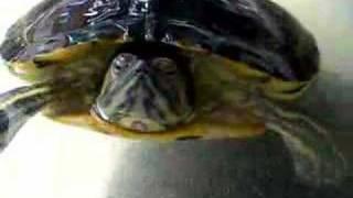 Tartaruga orecchie Rosse (Trachemys scripta elegans & Trachemys  scripta troosti)