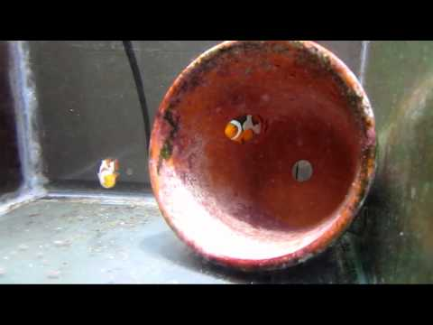 How To Get Your Clownfish To Spawn - Part One - Pairing Your Clownfish