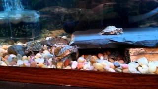 [HD] Hatchling Texas/Mississippi Map turtles feeding on Blood Worms & Shrimp.