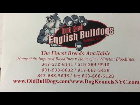 THE OLD RED ENGLISH BULLDOGS KENNEL INC (SONG BY BENJAH) - Duration: 3:54.