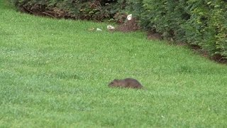 Les rats investissent le jardin des Tuileries à Paris