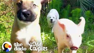 This Piglet-Puppy Family's Daily Routine Is Too Perfect To Be True | The Dodo Odd Couples