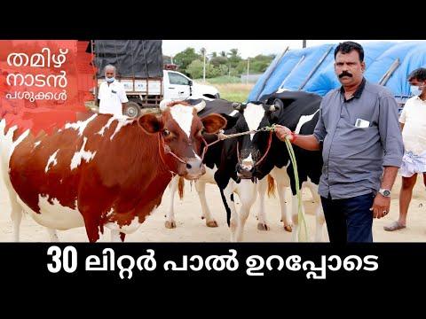 തമിഴ്നാട്ടിൽ നിന്നും പശുക്കളെ എത്തിച്ചുതരുന്നു  best cow broker   farm house   vikky