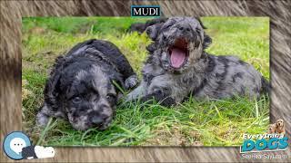 Mudi  Everything Dog Breeds