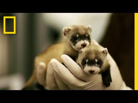Ferret ​Babies Key to Species Rebound