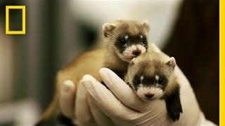Ferret Babies Key to Species Rebound