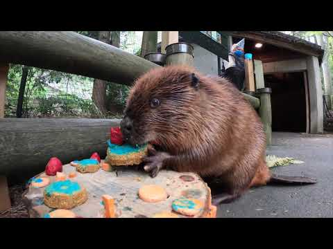 Beaver Maple Celebrates Birthday With Sticks And Otters